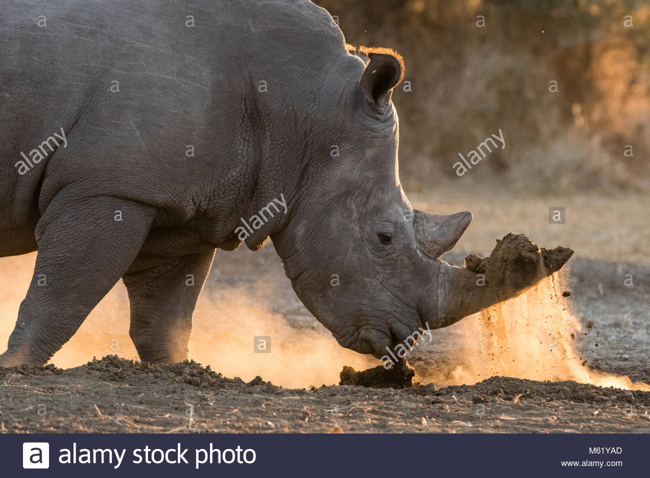 A white rhinoceros, Ceratotherium simum, digging with its horn. - Stock Image