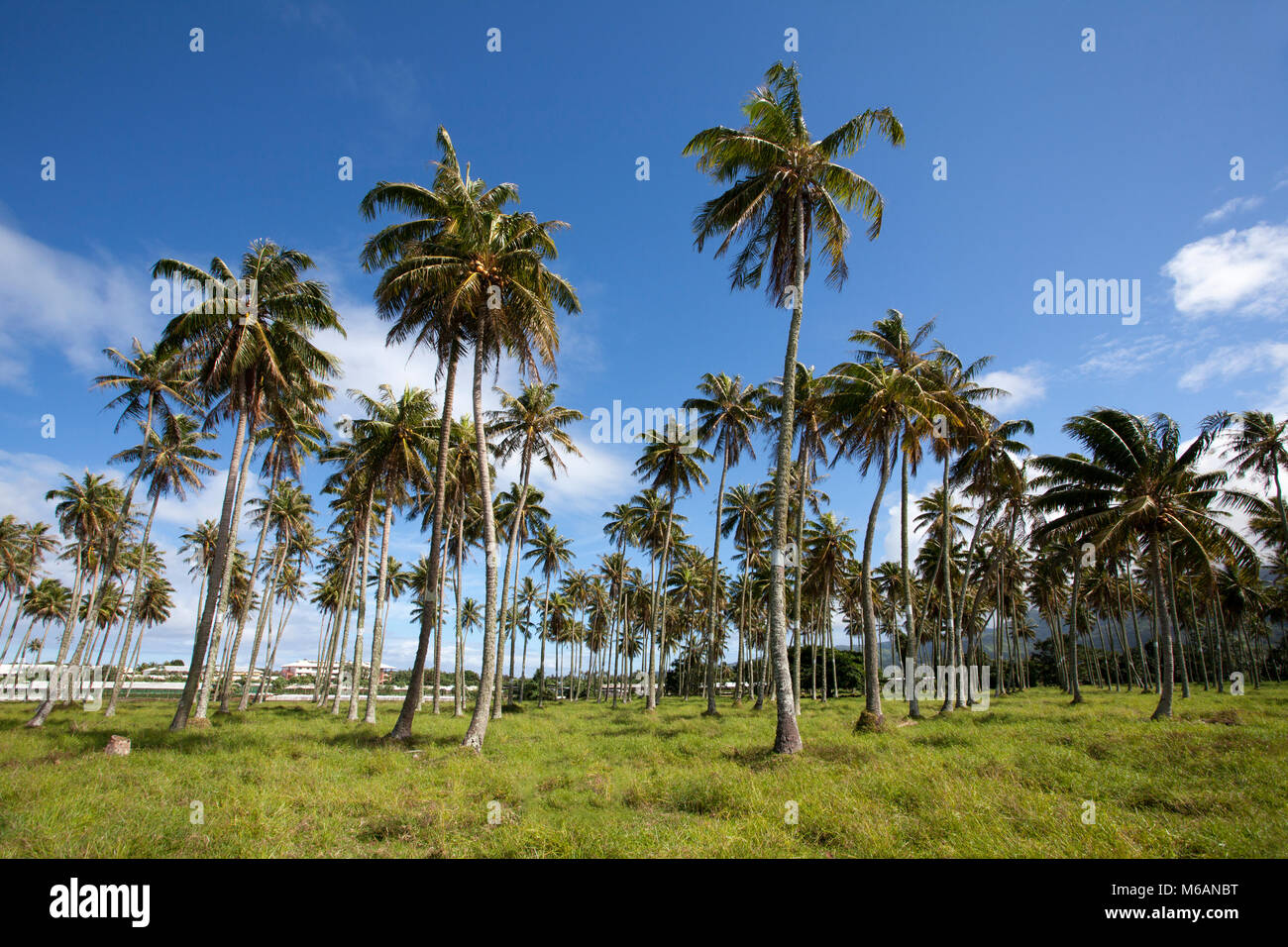 Plantation, coconut palm (Cocos nucifera), Tahiti, French Polynesia - Stock Image