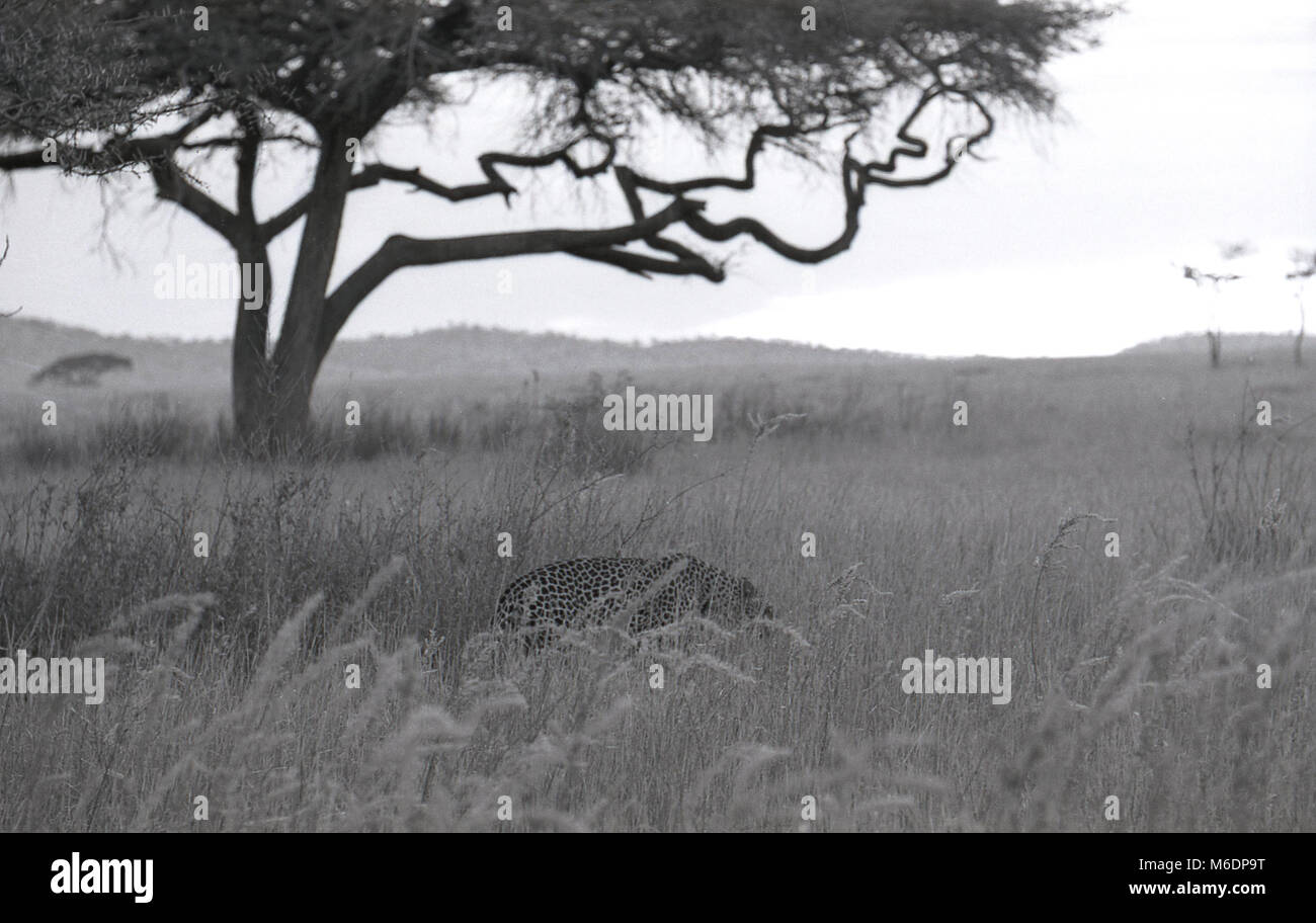 1970s, historical, Africa, a cheetah in open grassland. - Stock Image