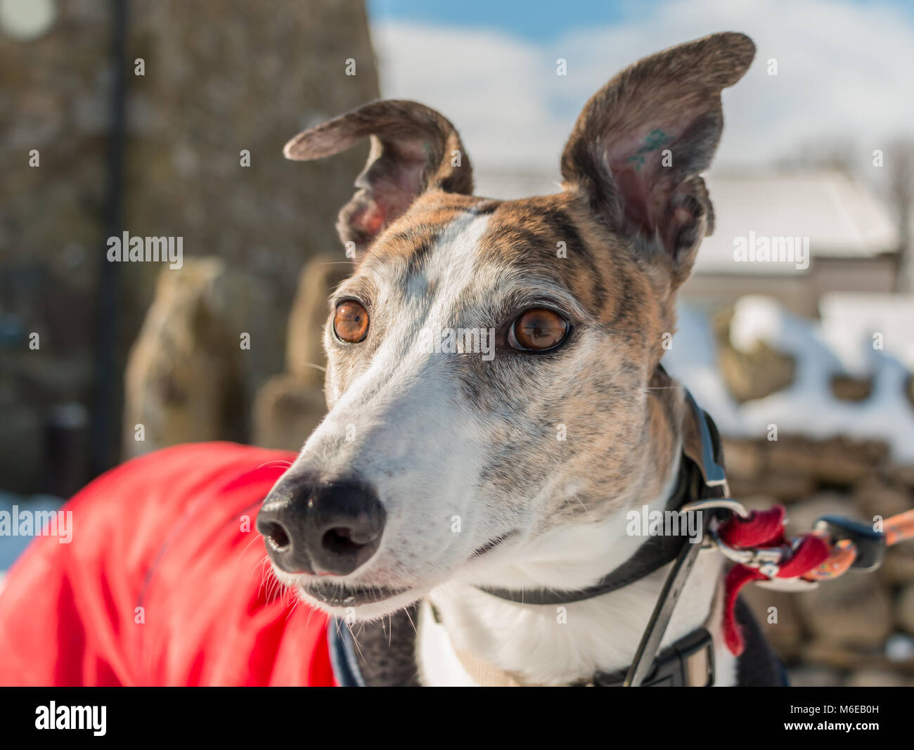 portrait-of-a-beautiful-brindle-and-whit
