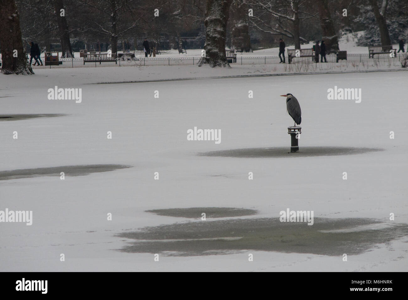A heron perched on a post over a frozen lake in snowy conditions in St James's Park, London - Stock Image