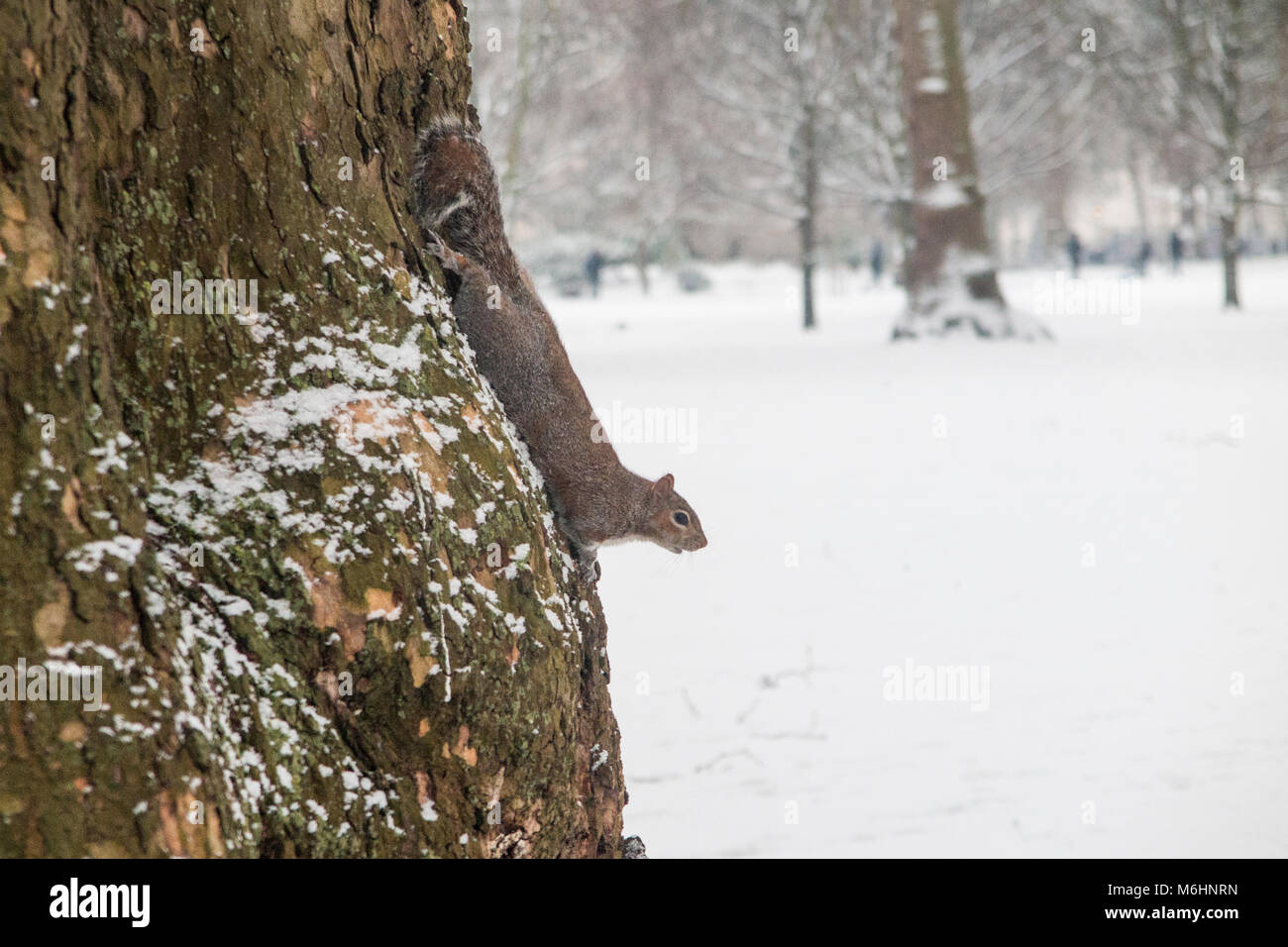 A squirrel in a snow covered tree in St James's Park, London - Stock Image