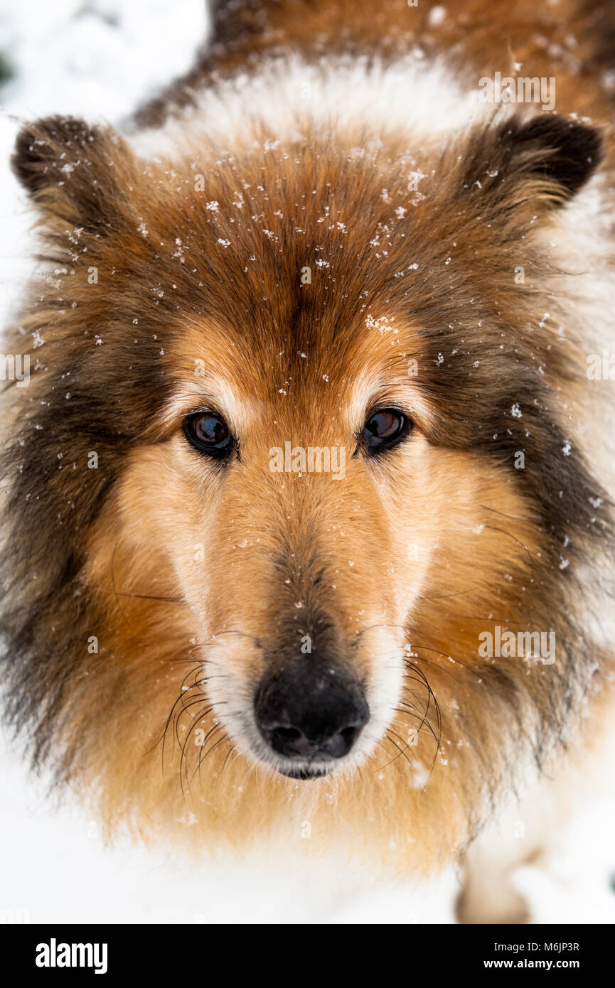 rough-collie-dog-playing-in-the-snow-dur