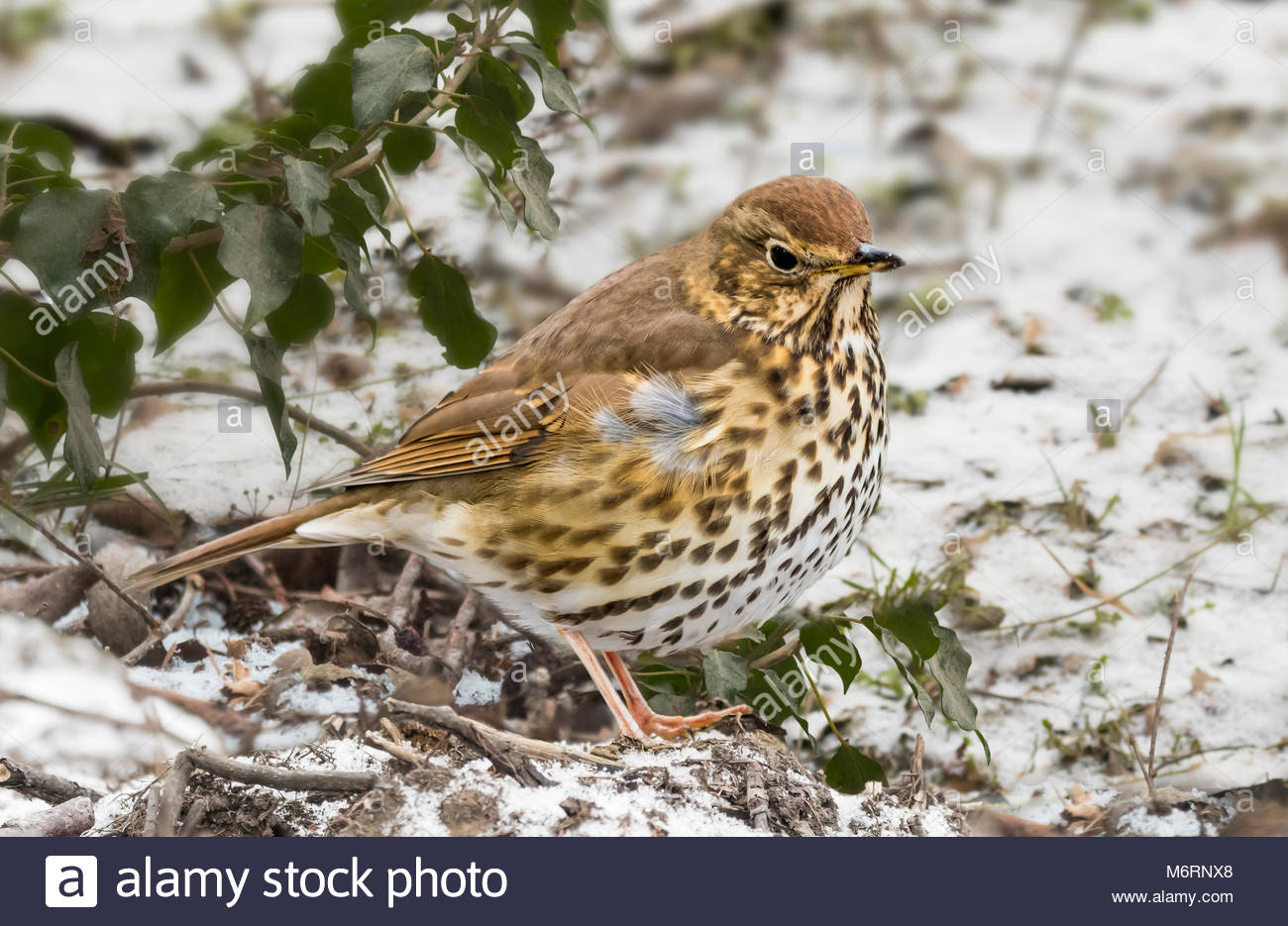 song-thrush-turdus-philomelos-standing-on-snow-covered-ground-on-a-M6RNX8.jpg