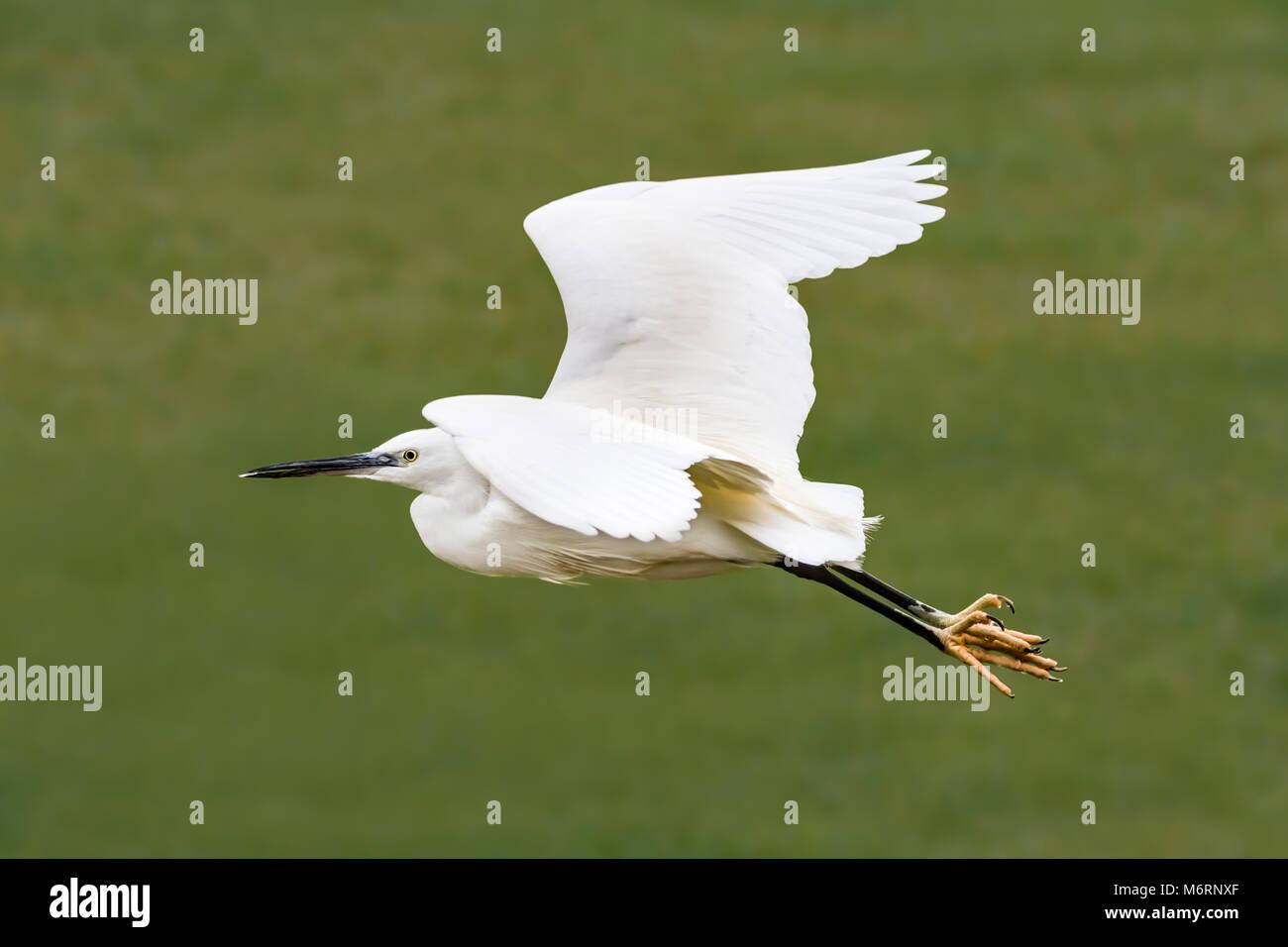 little-egret-bird-egretta-garzetta-flying-over-land-on-a-very-cold-M6RNXF.jpg