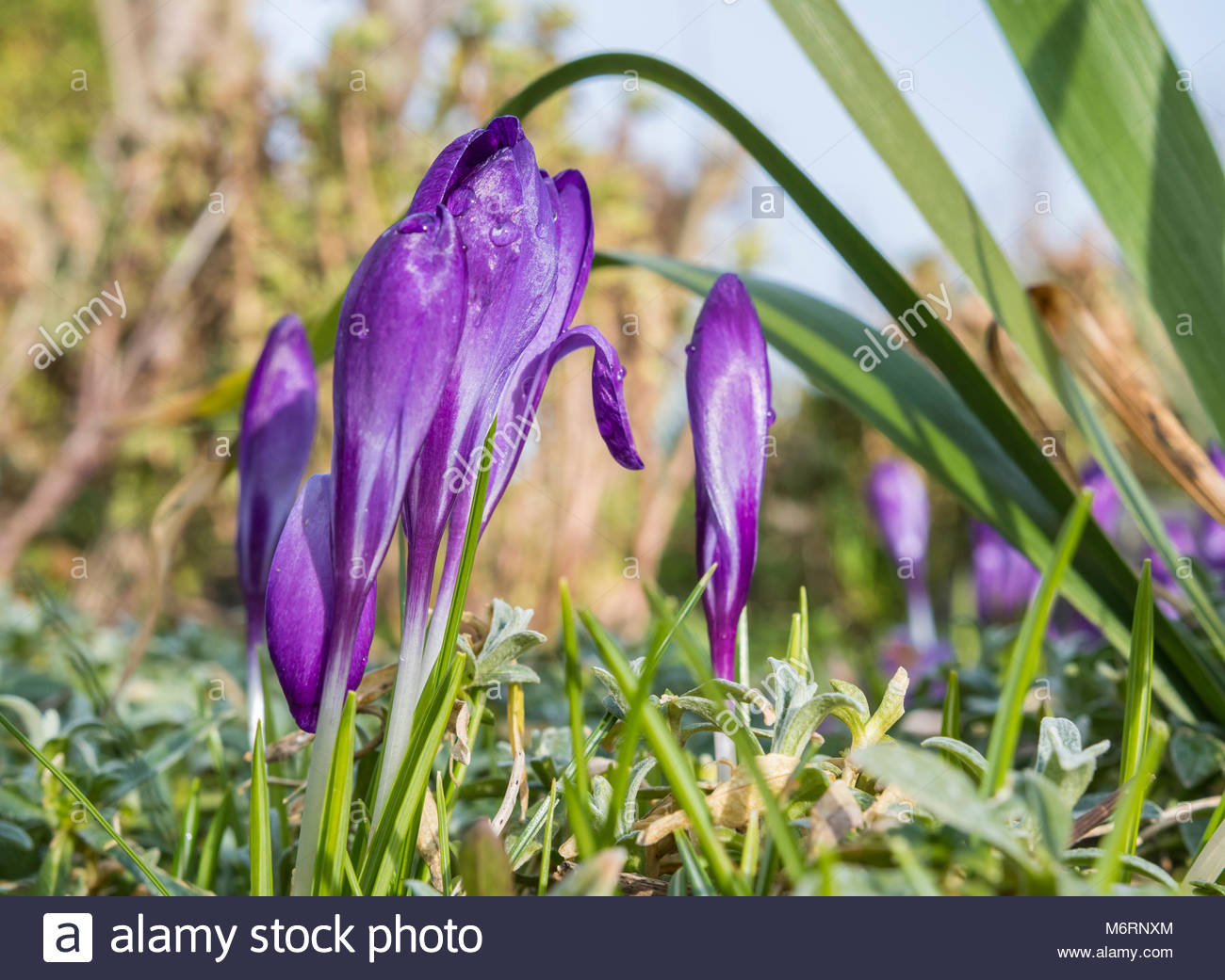 purple-closed-crocuses-growing-in-winter-in-england-uk-crocuses-closed-M6RNXM.jpg