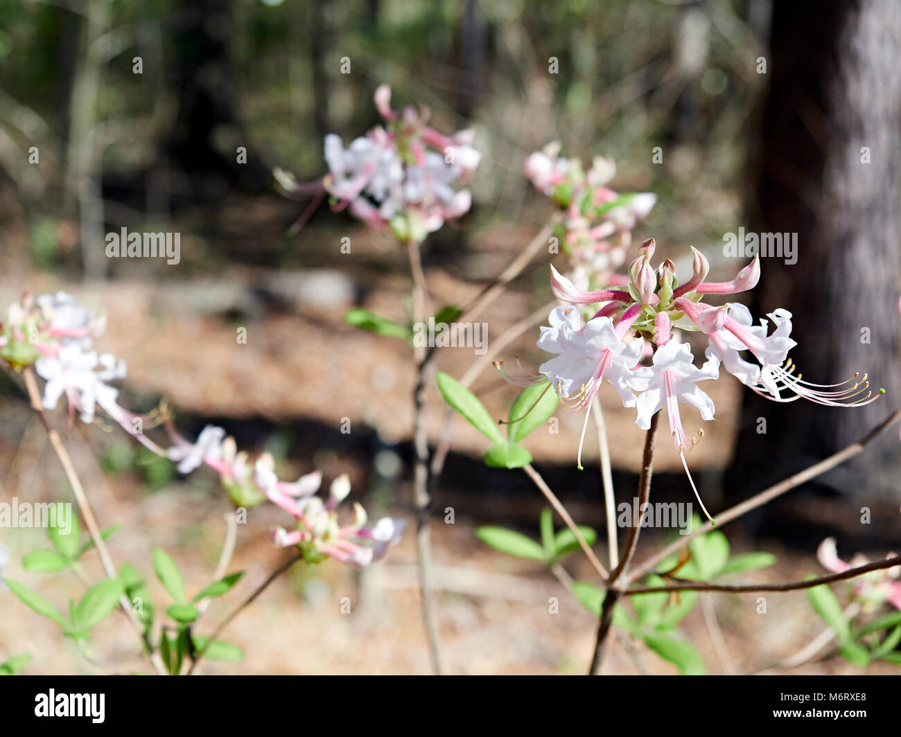 Piedmont Azalea or rhododendron canescens growing in the wild in the forest in Alabama, USA. - Stock Image