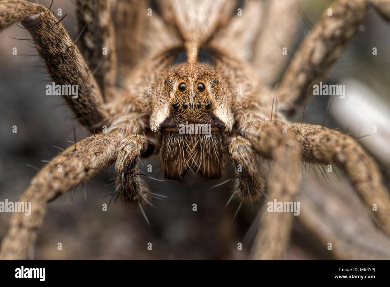 Nursery Web Spider (Pisaura mirabilis) close up of the face Stock Photo