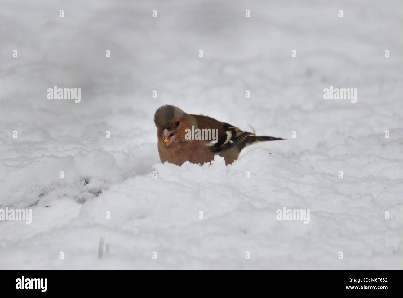 common-chaffinch-fringilla-coelebs-in-sn