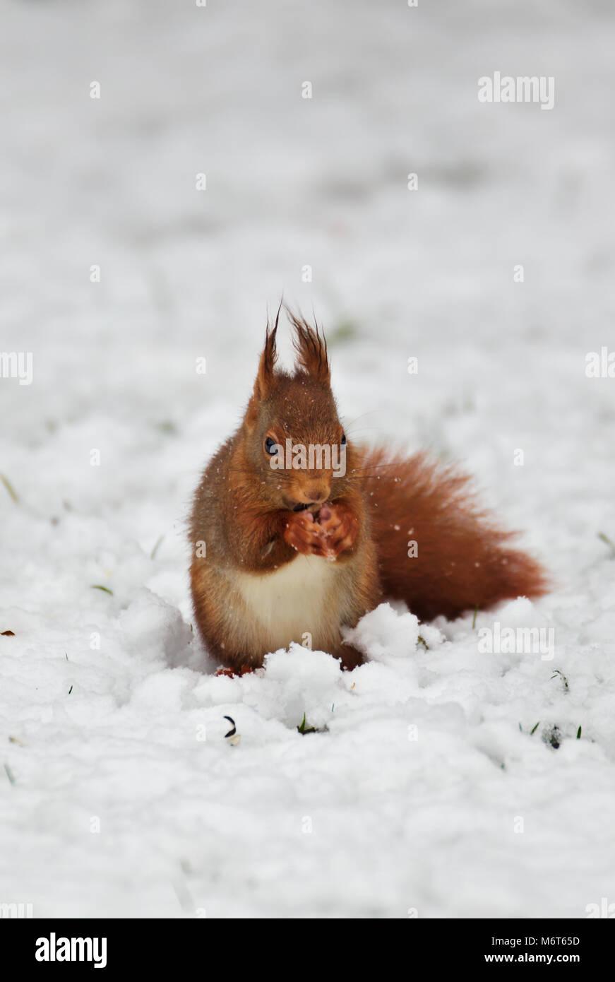 eurasian-red-squirrel-sciurus-vulgaris-i