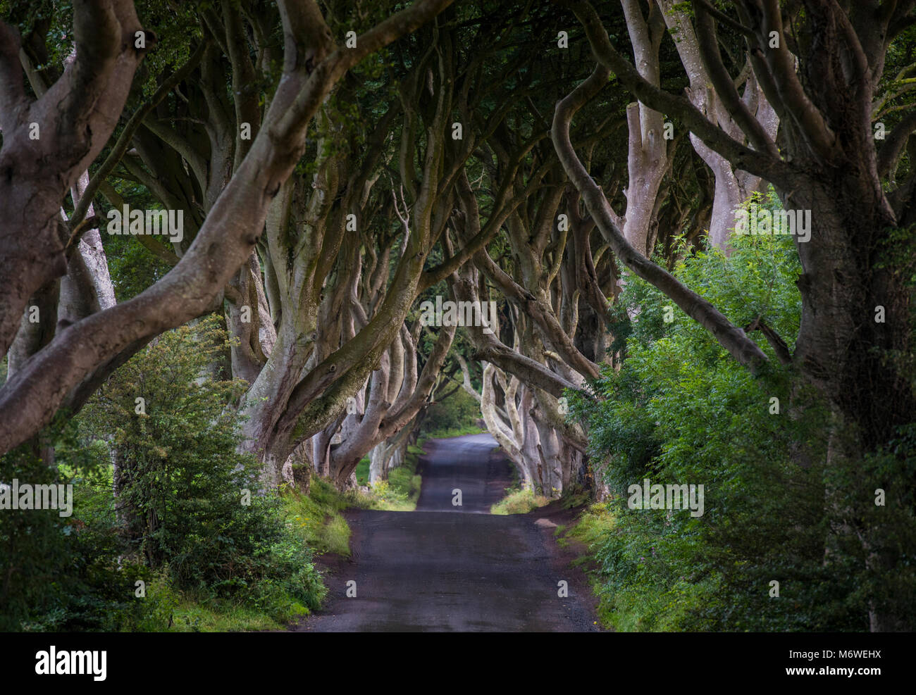 The Dark Hedges in County Antrim, Northern Ireland - Stock Image