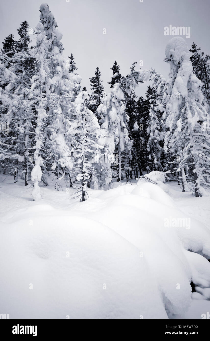 Trees in the snow in Yellowstone National Park, USA - Stock Image