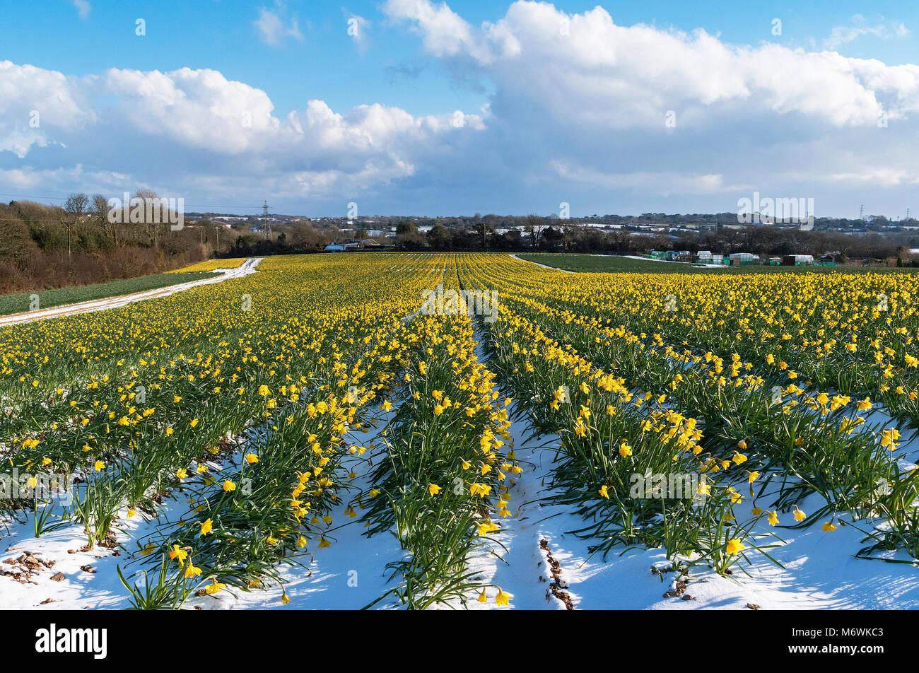 snow in the daffodil fields near truro, cornwall, england, britain, uk. - Stock Image