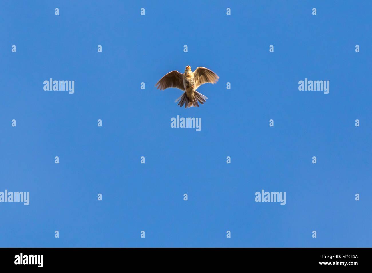 A common skylark in flight - Stock Image