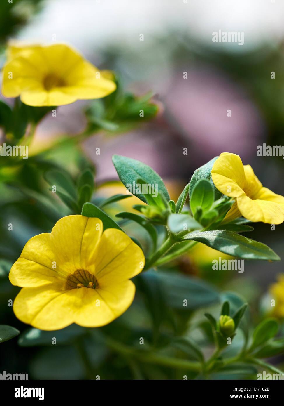 Close up of yellow petunia flowers in full bloom, also known as Solanaceae. - Stock Image