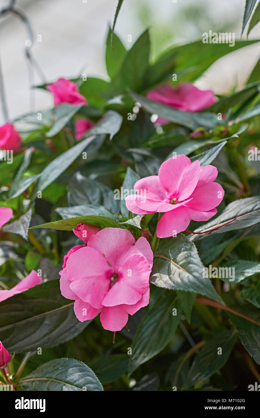 Close up of flowering pink or red impatiens also known as jewelweed, touch-me-not, snapweed, or patience, in the - Stock Image