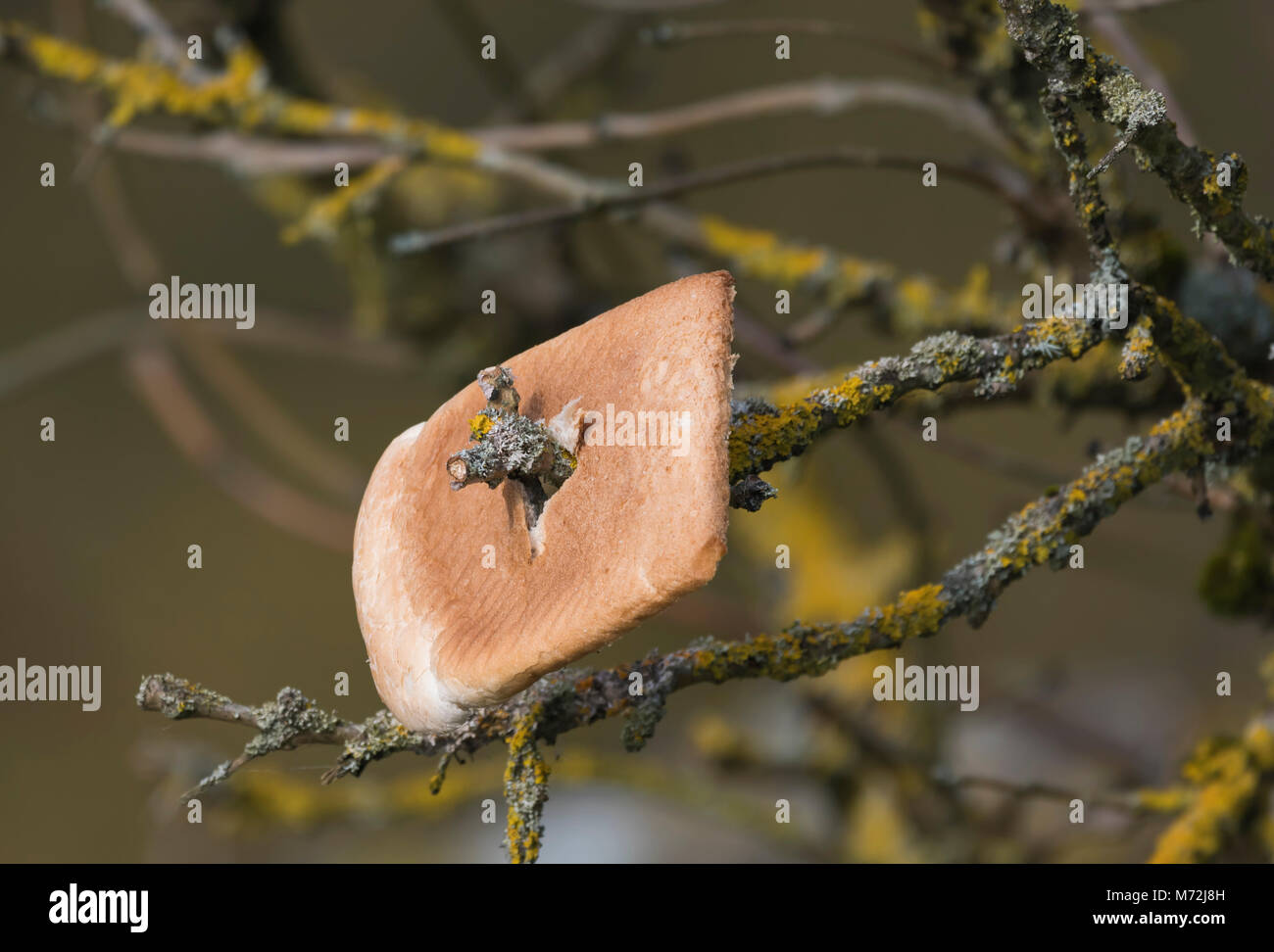 slice-of-white-bread-impaled-on-a-twig-of-a-tree-attracting-birds-M72J8H.jpg