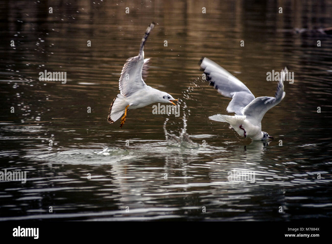 Melton Mowbray. 9th March 2018: UK Weather: Grey clouds and showers, mild day as visitors watch young swans in flight - Stock Image