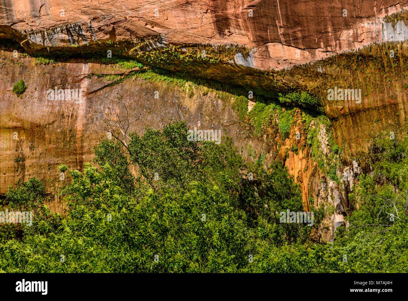 The USA, Utah, Washington county, Springdale, Zion National Park, Zion canyon, weeping rock - Stock Image