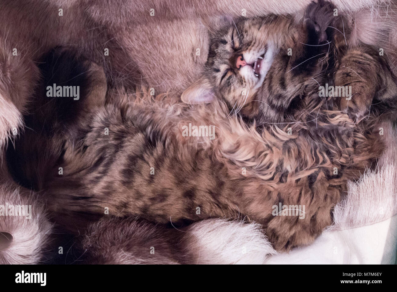 A munchkin cat lying on its back smiling at the camera - Stock Image