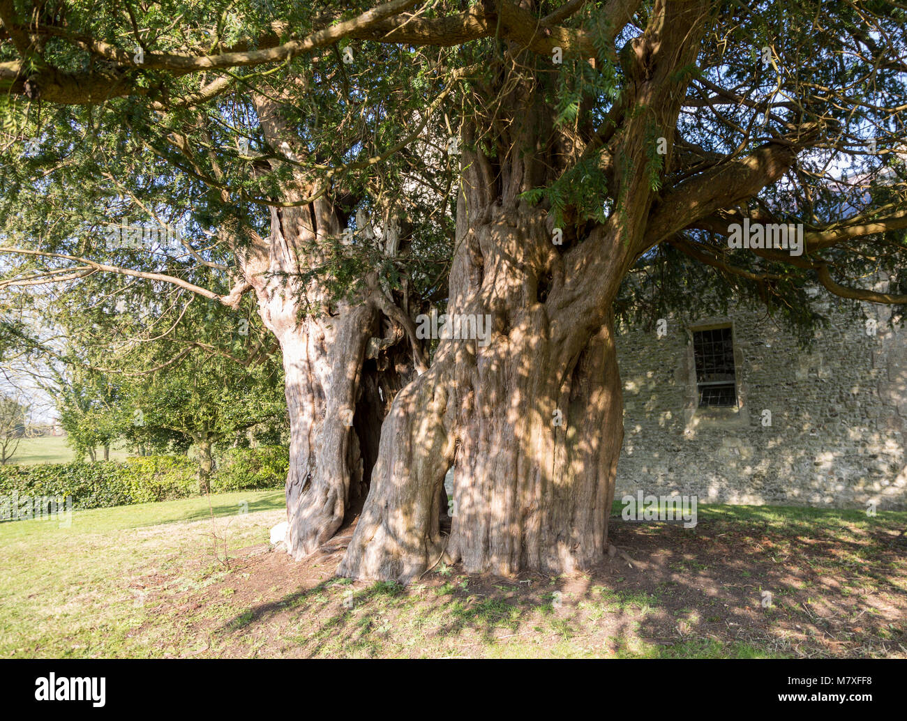 Ancient yew tree dated at 1700 years old All Saints Church, Alton Priors, Wiltshire, England, UK - Stock Image