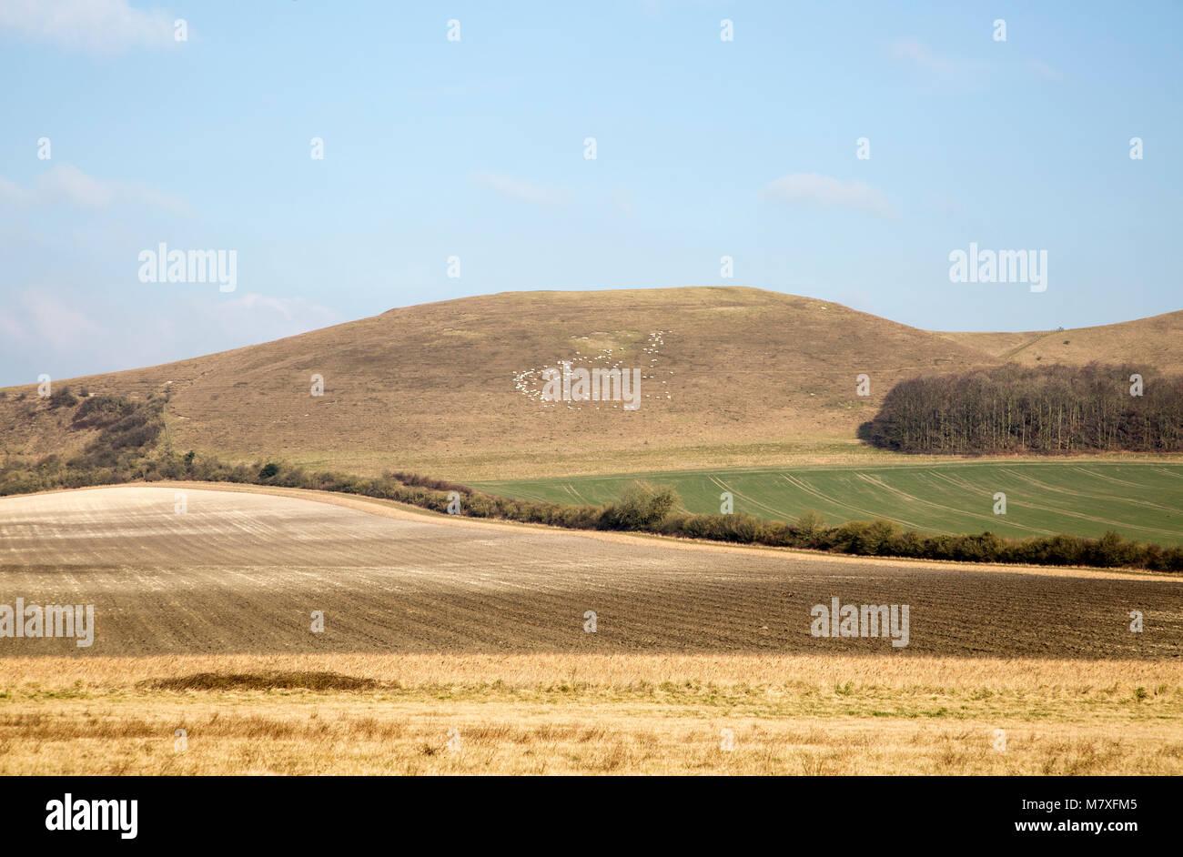 Distant sheep chalk scarp slope Knap Hill, Vale of Pewsey, Alton Priors, Wiltshire, England, UK - Stock Image