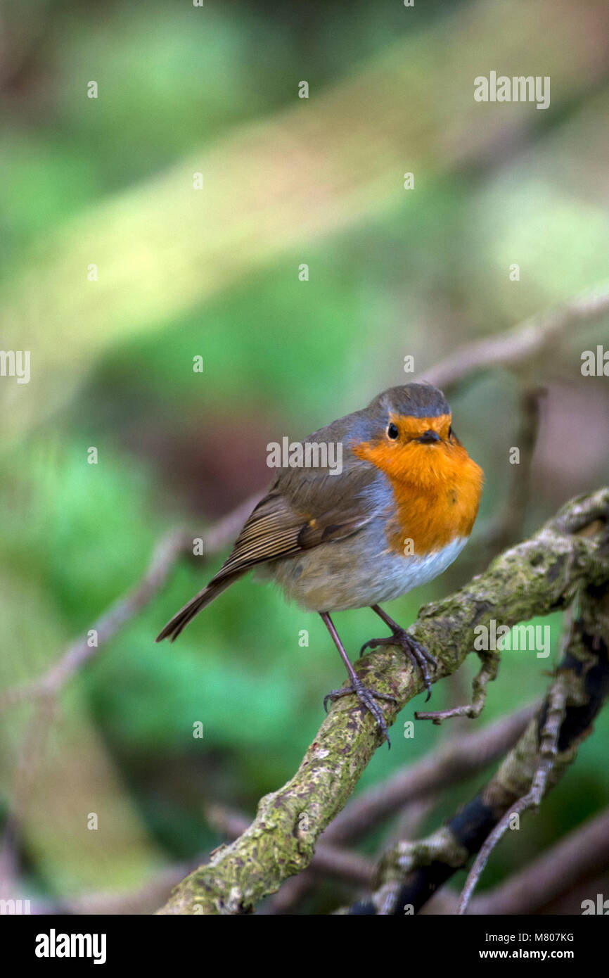 Melton Mowbray, Leicestershire, UK. 14th March, 2018. Warm day Robin burst into spring song one of natures wonders - Stock Image