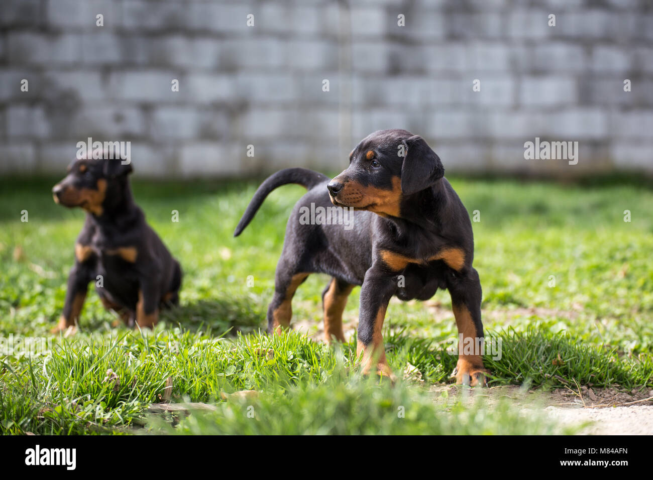 dobermann not pinscher stock photos dobermann not pinscher stock images alamy. Black Bedroom Furniture Sets. Home Design Ideas