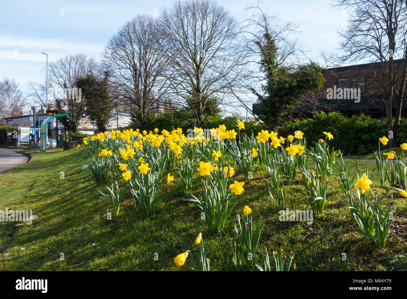 yellow-daffodil-drift-at-entrance-to-bus