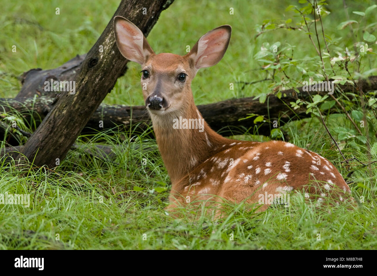 baby fawn stock photos amp baby fawn stock images alamy