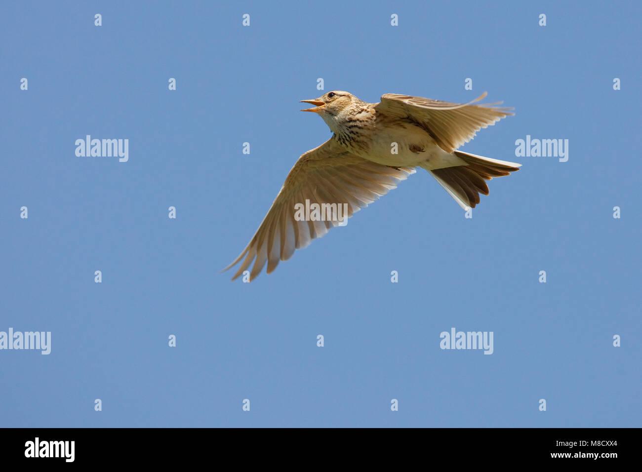 Veldleeuwerik tijdens zangvlucht; Eurasian Skylark in song flight - Stock Image
