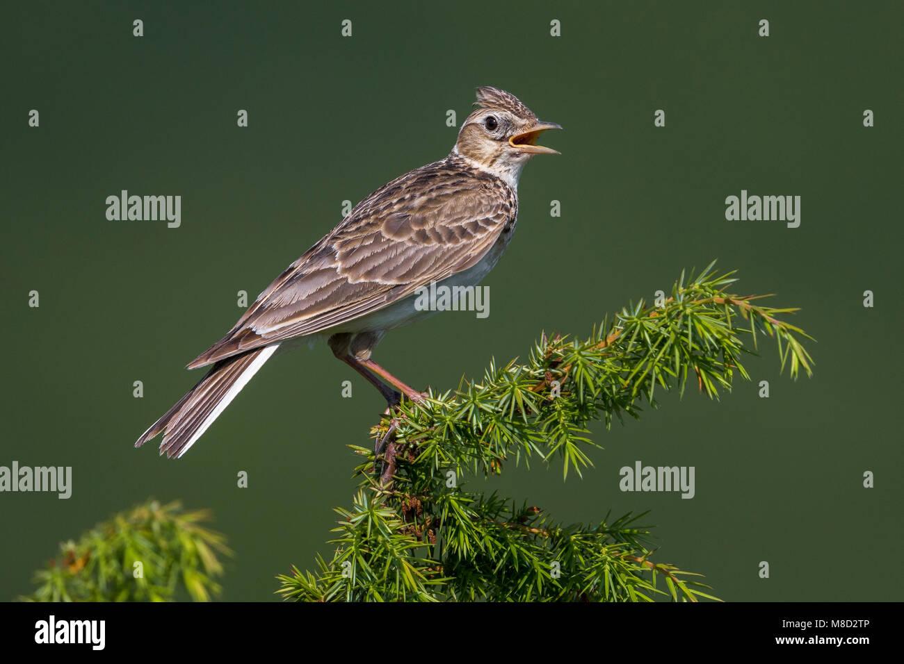 Veldleeuwerik; Eurasian Skylark; Alauda arvensis - Stock Image
