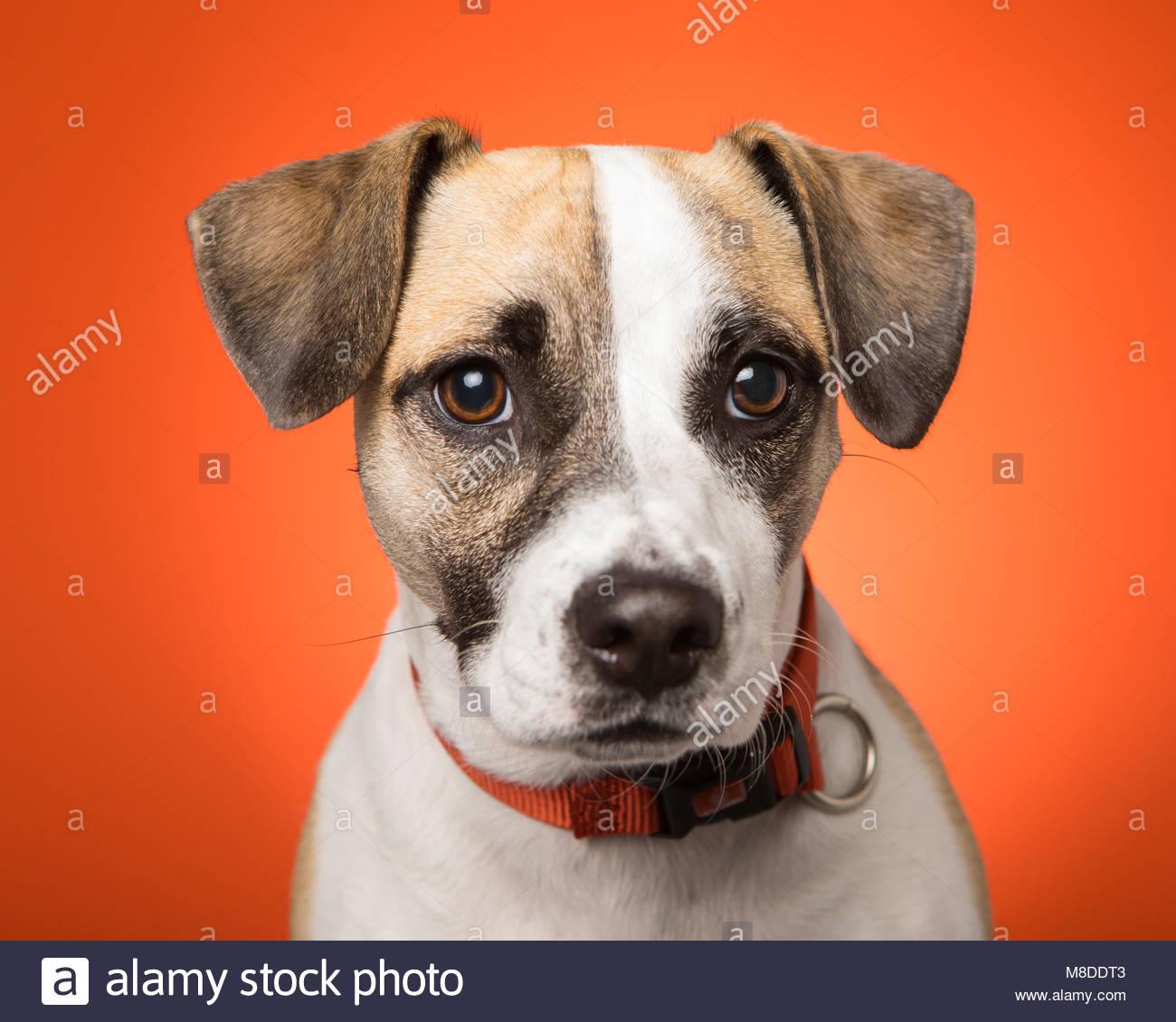 close-up of brown-eyed beagle mix against orange studio background - Stock Image