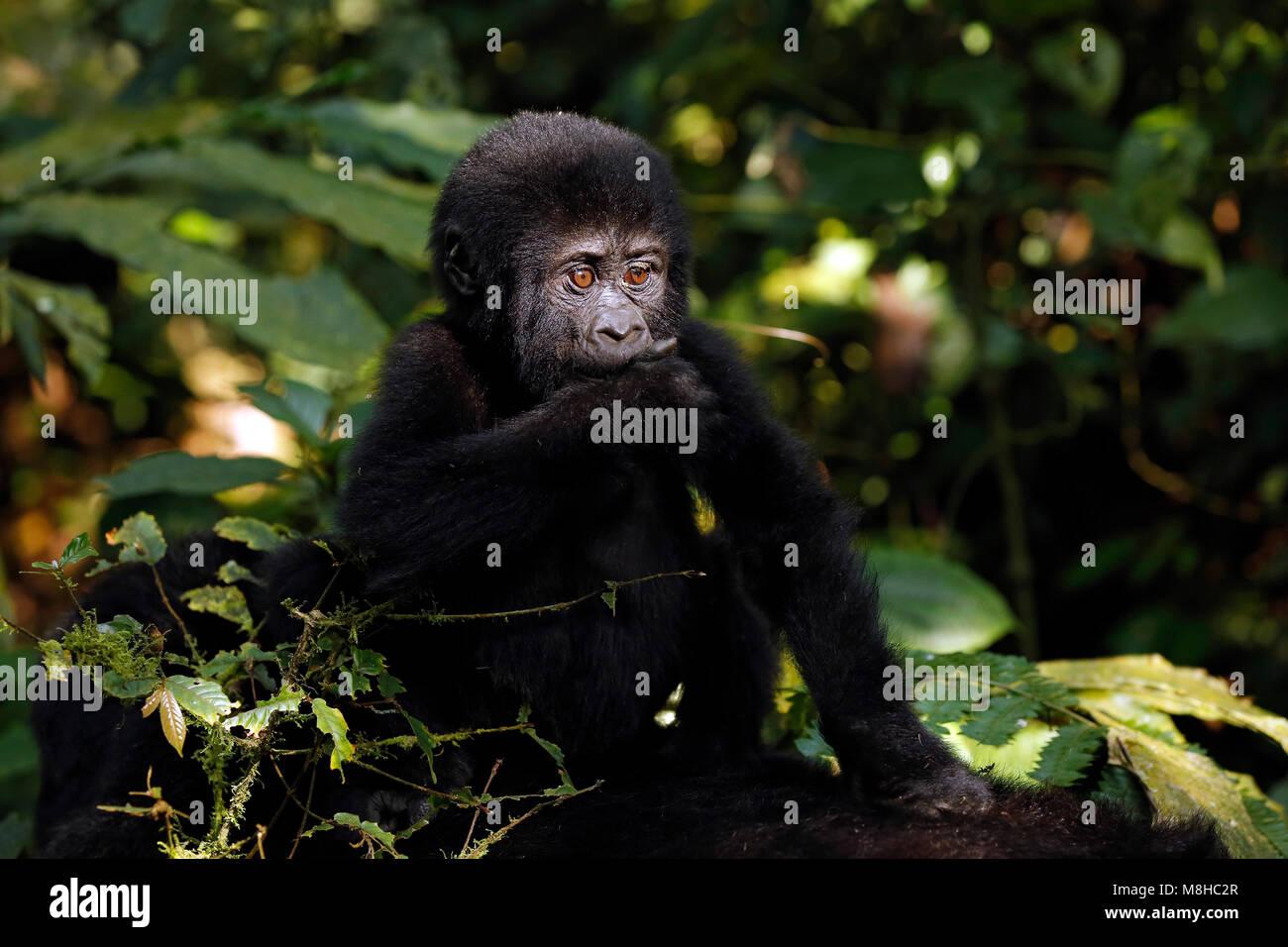 Baby Gorilla (Gorilla beringei beringei) Riding Mothers Back. Bwindi Impenetrable National Park, Uganda - Stock Image