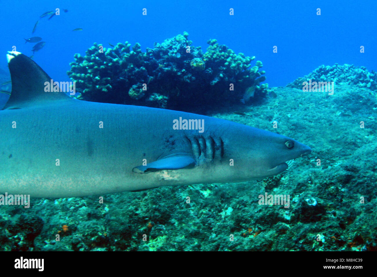 Whitetip Reef Shark (Triaenodon obesus) Swimming over Reef. Coiba, Panama - Stock Image