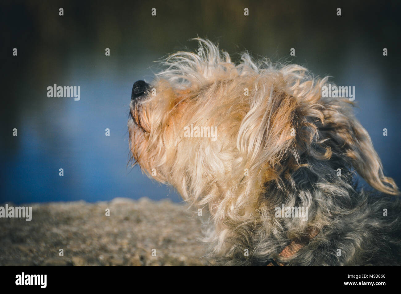 Barking Puppy Stock Photos Barking Puppy Stock Images