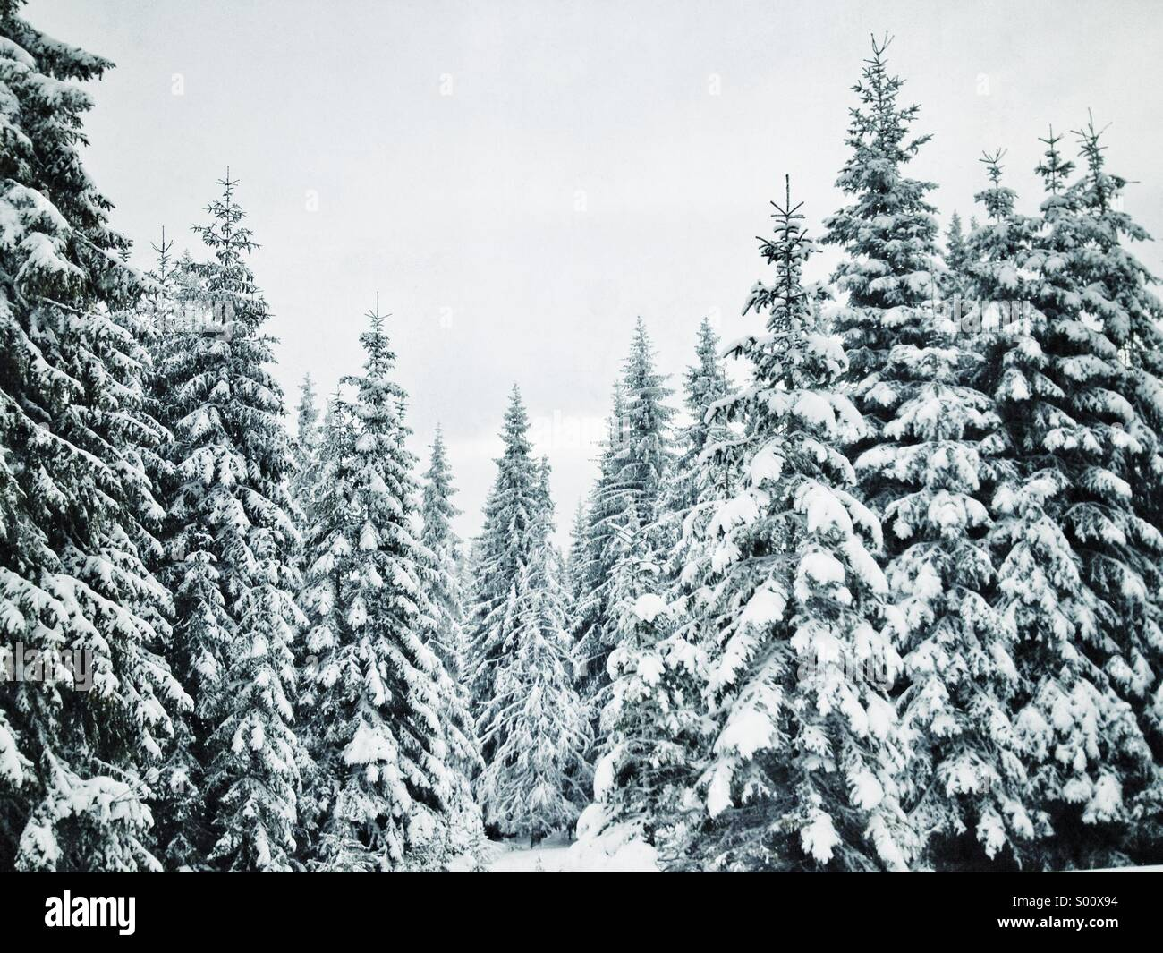 pine-trees-covered-by-snow-S00X94.jpg