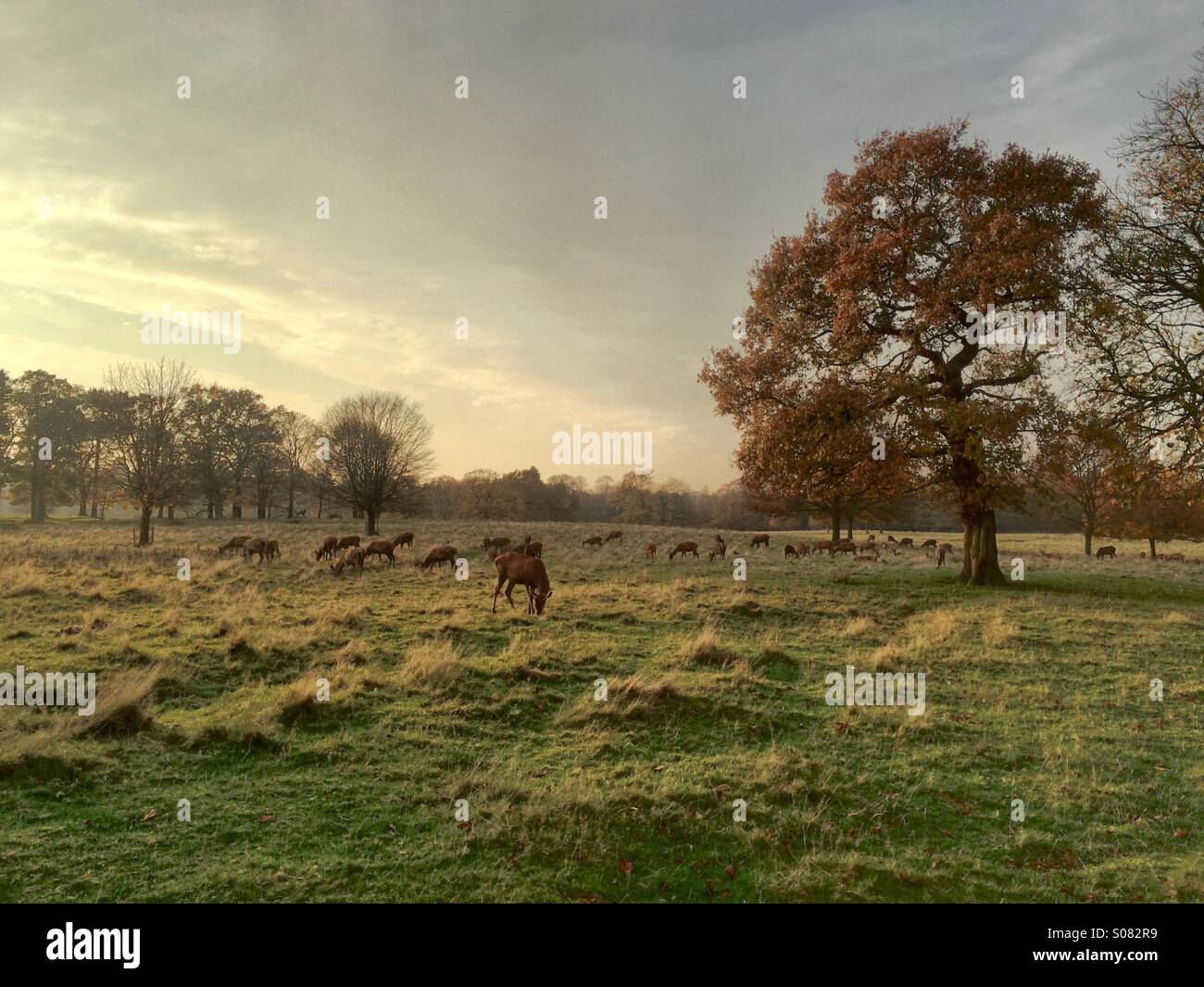 deer-in-tatton-park-cheshire-england-S08
