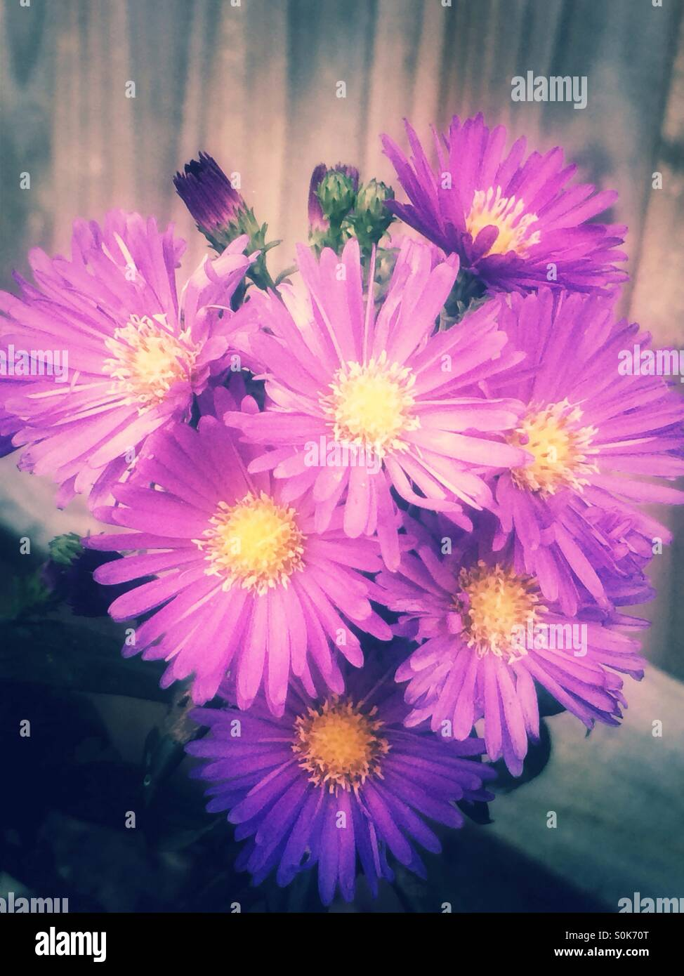 Purple aster flowers Stock Photo