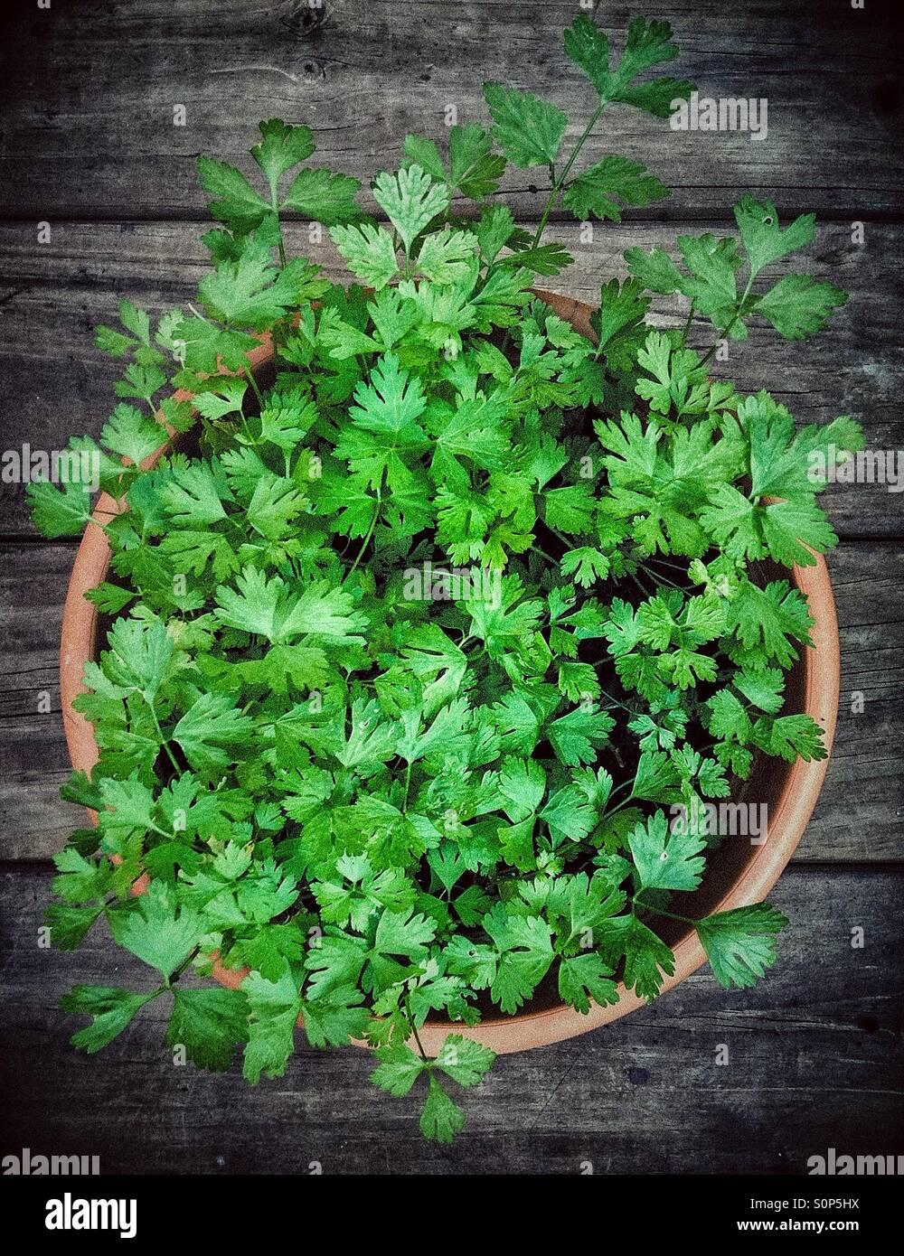 Green parsley Stock Photo