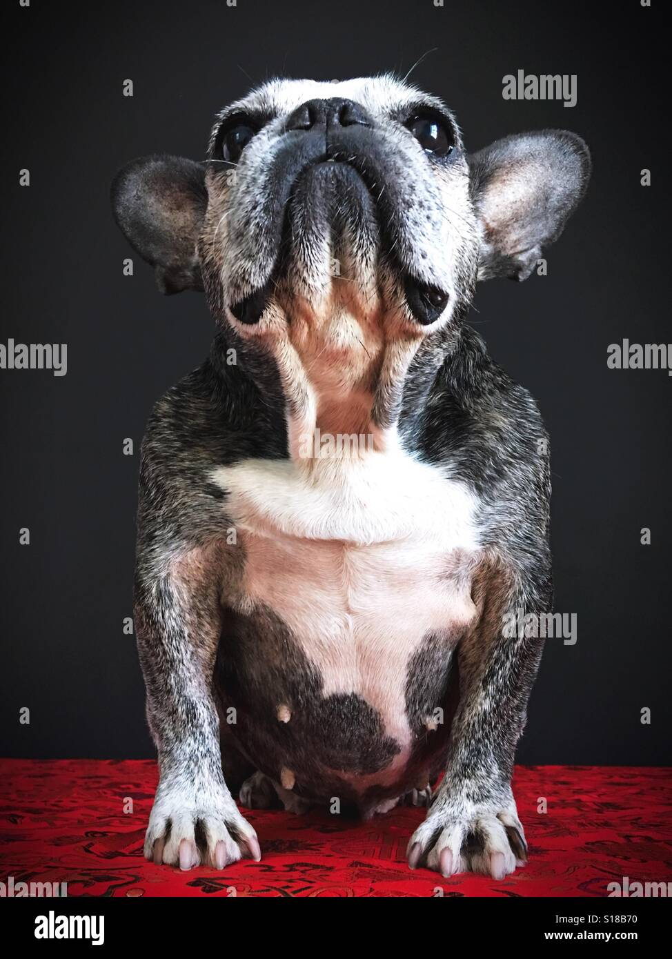 A cute old French bulldog looking up. Stock Photo