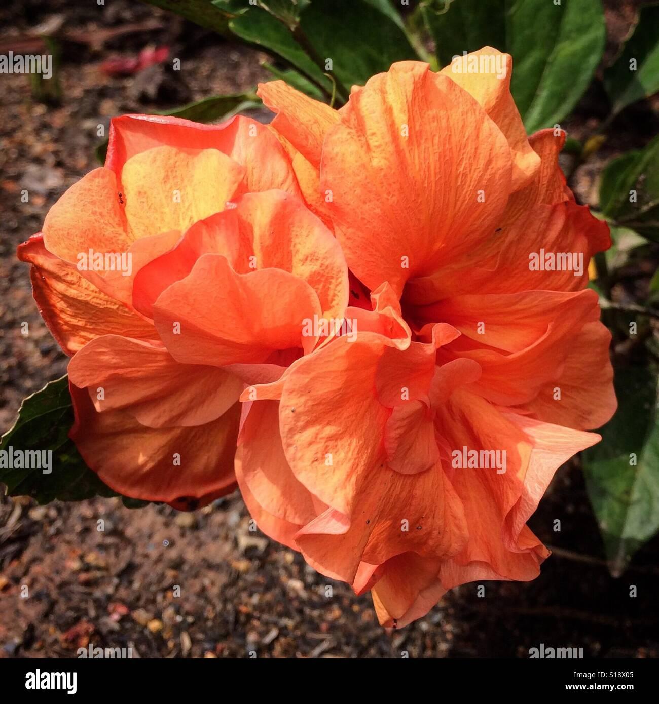 Tangerine Orange Double Hibiscus Flower In A Brazilian Garden Stock Photo 310597285 Alamy