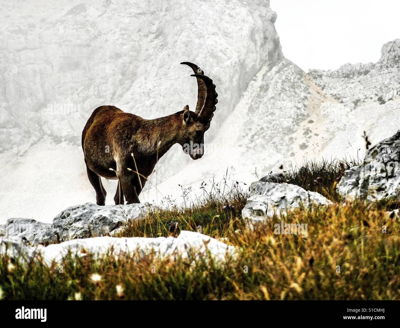 An ibex in the slovenian alps. Stock Foto