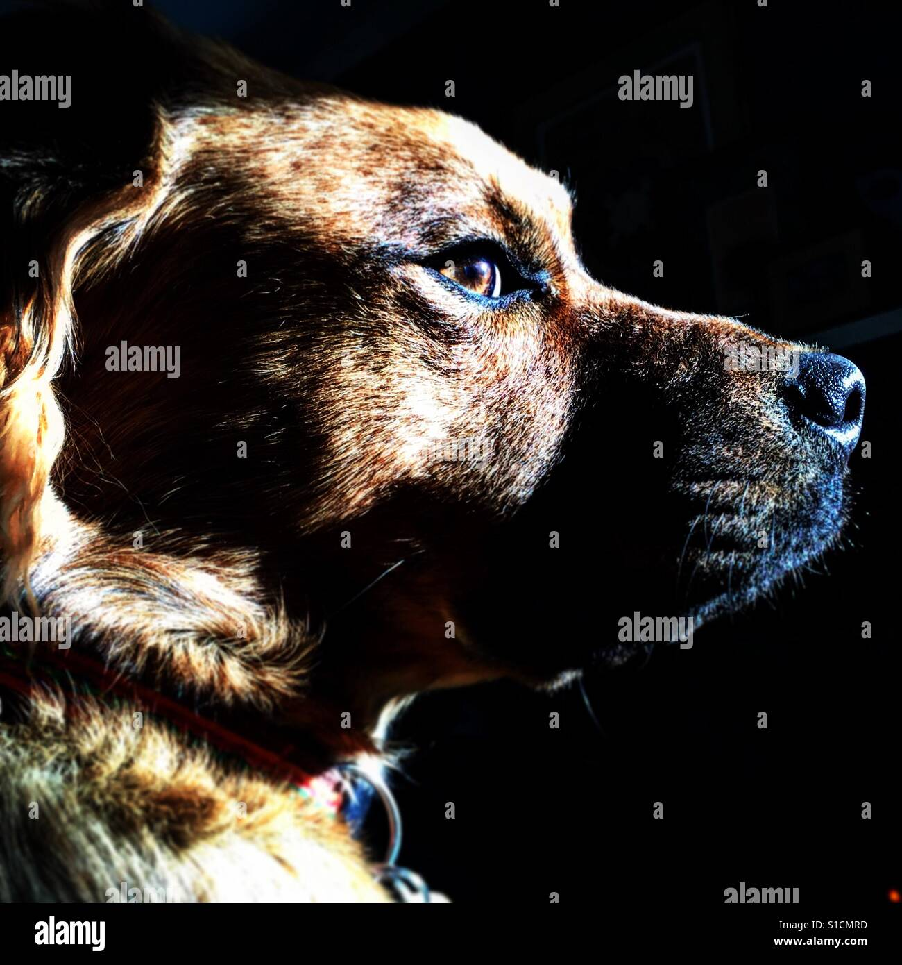 Retriever chow puppy looks out a window Stock Foto