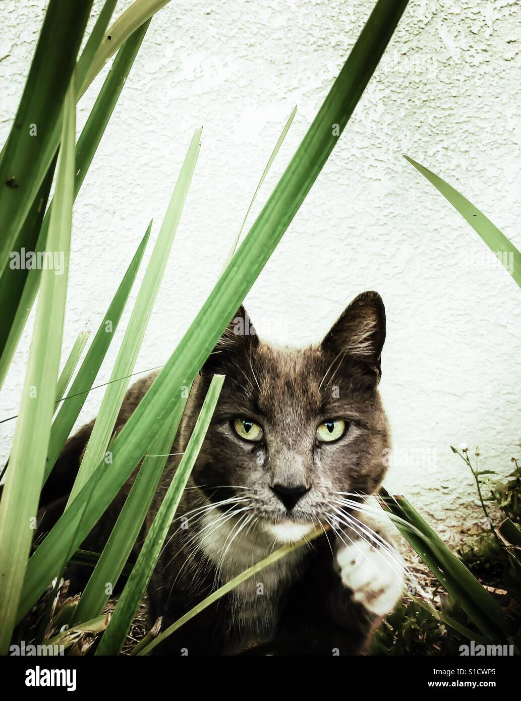 Feral gray cat with green eyes peering through reeds close on ready to pounce Stock Foto