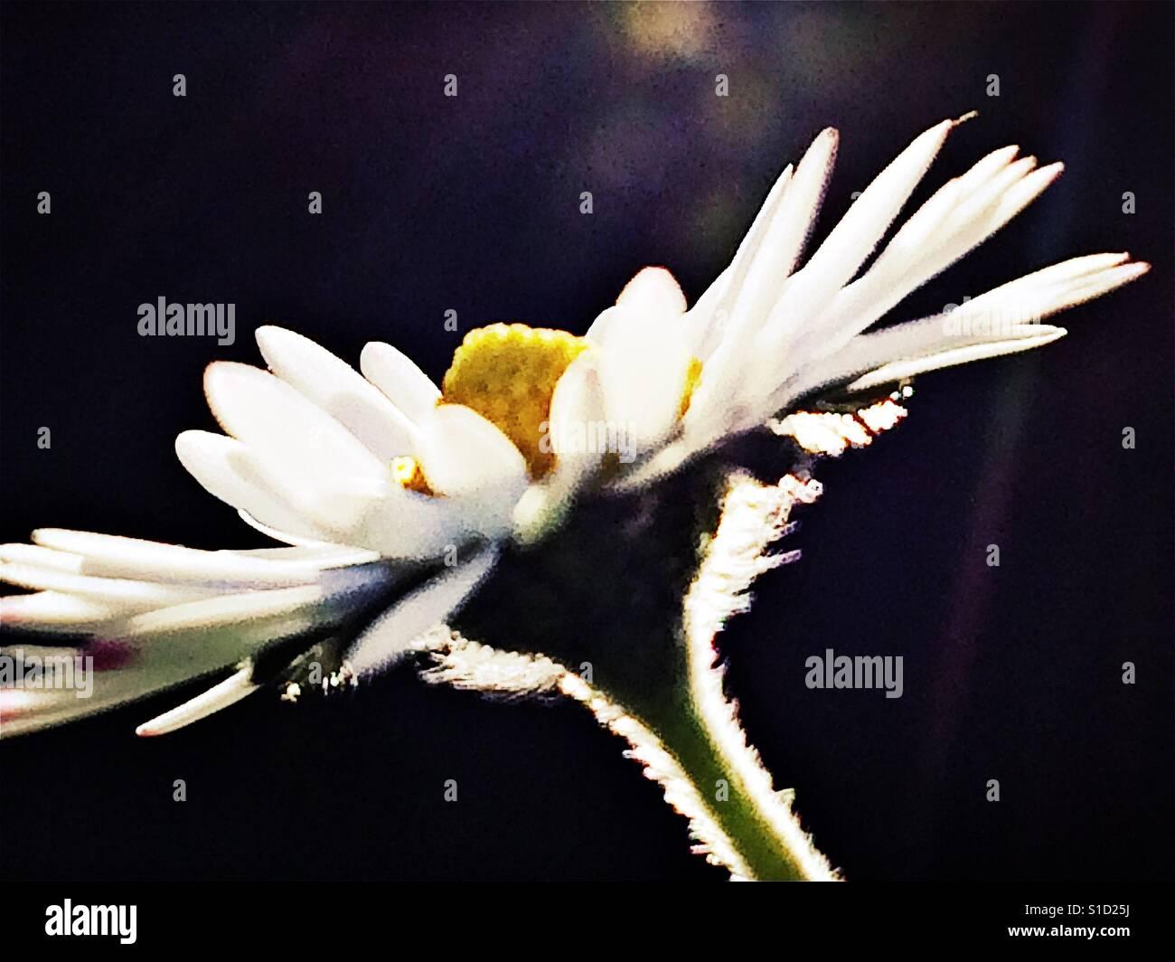 Pretty daisy head in close up Stock Foto