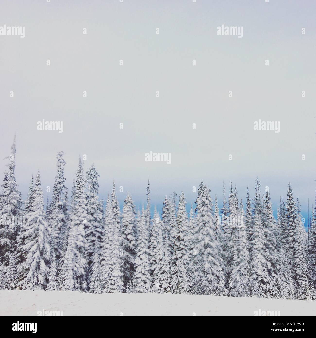 Line up of snow covered evergreen trees. Square crop. Stock Foto