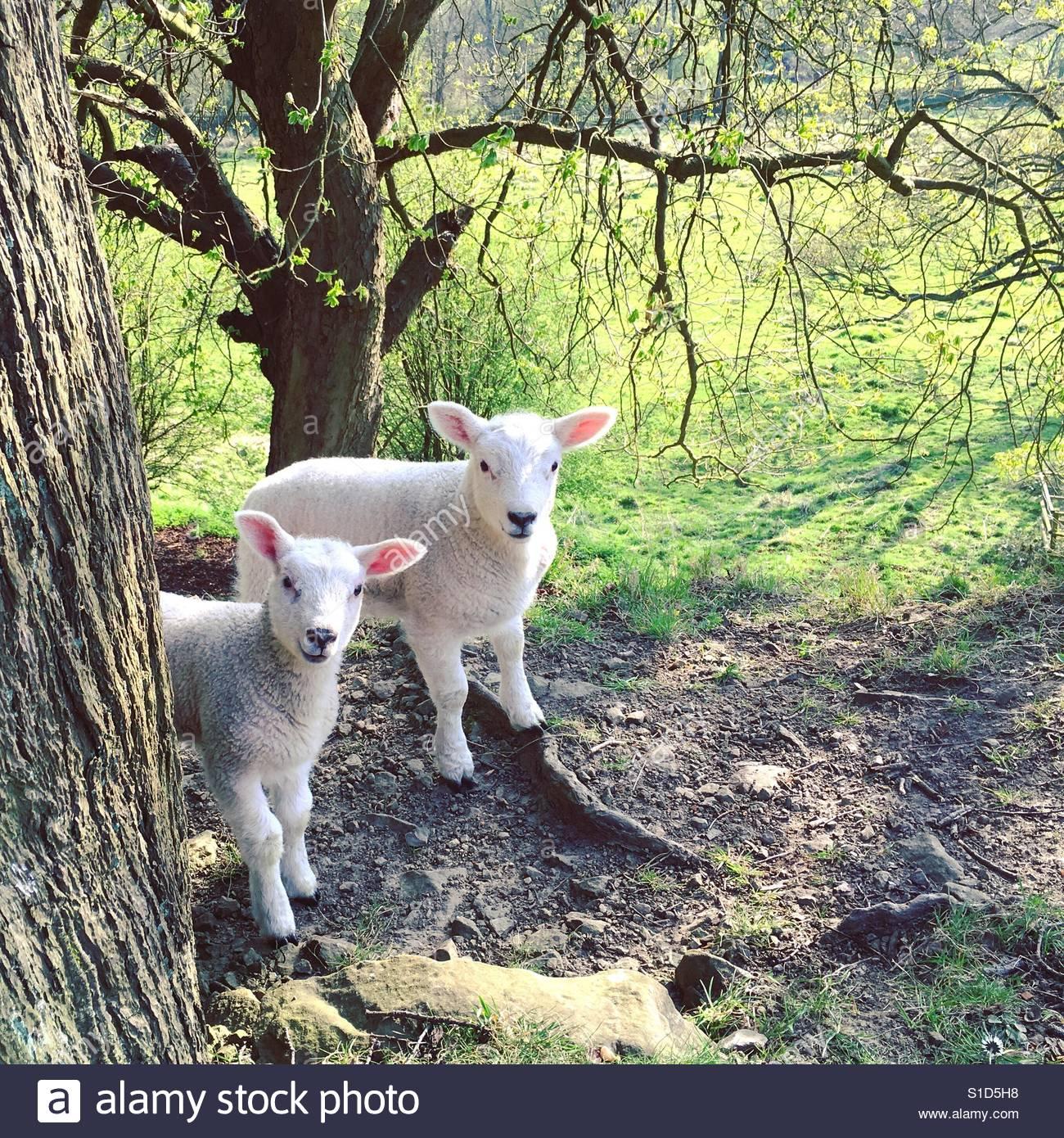 Lambs Stock Foto