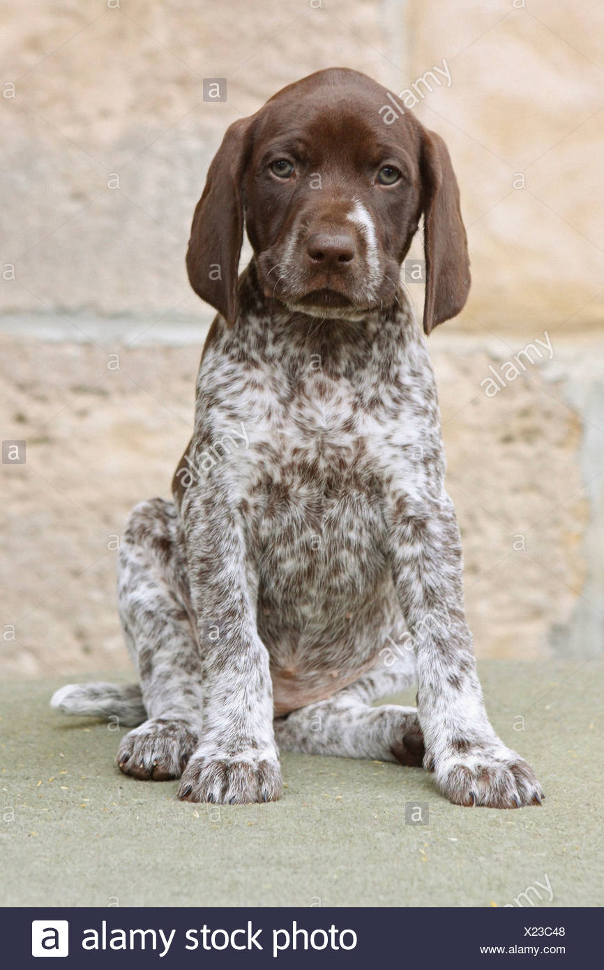 how to train a german shorthaired pointer to point