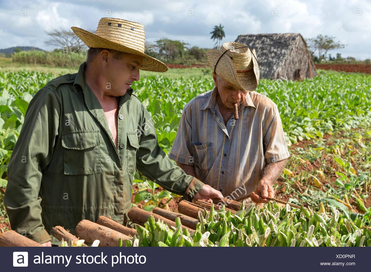 tabakpflanzen stock photos tabakpflanzen stock images alamy. Black Bedroom Furniture Sets. Home Design Ideas